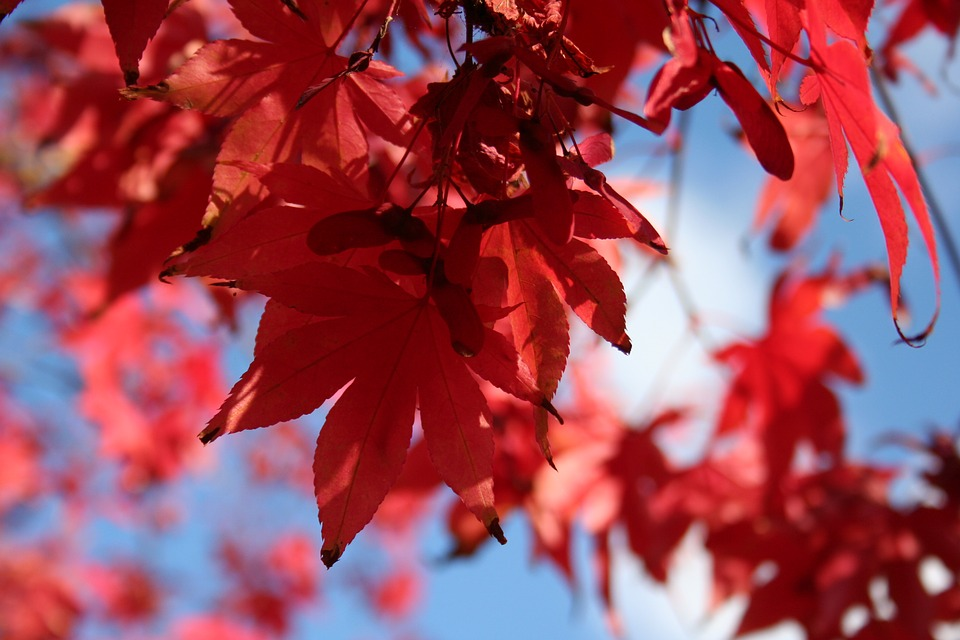 Acer tree in autumn
