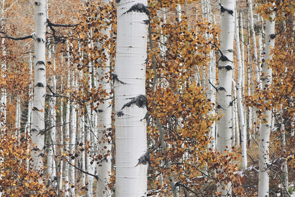 Aspen or poplar trees