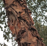 Betula nigra, the river or red birch