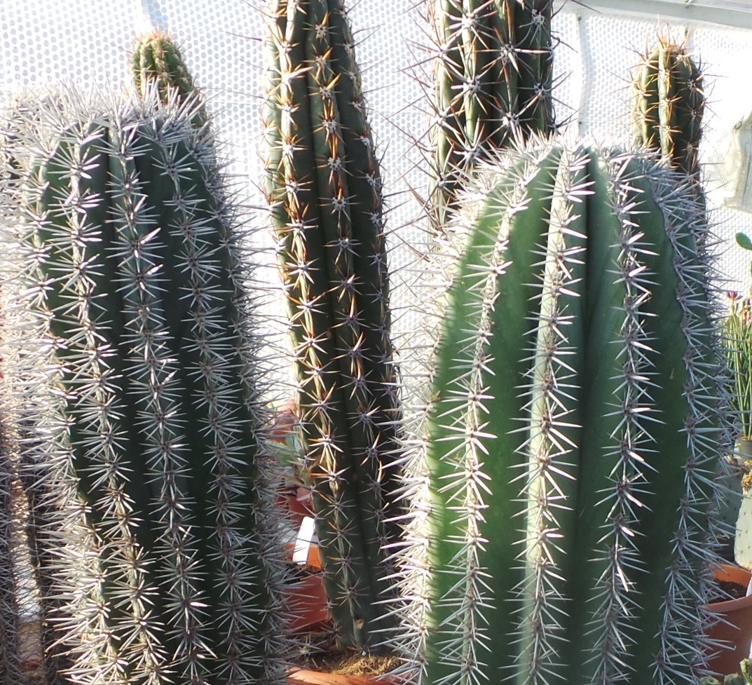 The bigger the better, cacti plants awaiting despatch