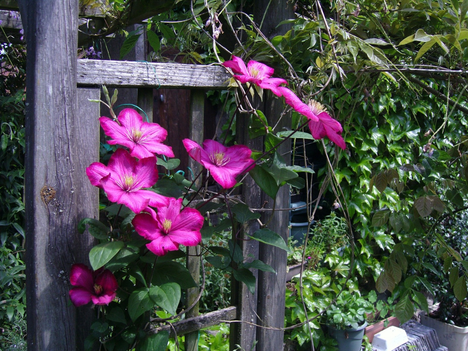 Clematis growing up a pergola