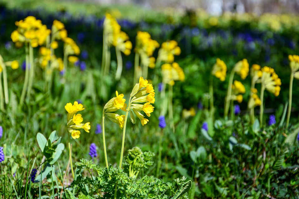 Cowslips are a native form of Primula