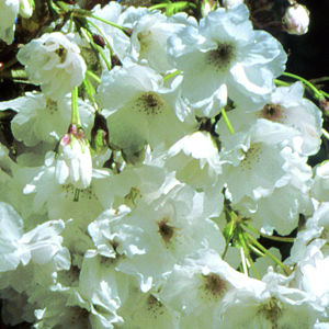 White flowers of Ornamental cherry, Prunus 'Fragrant Cloud'