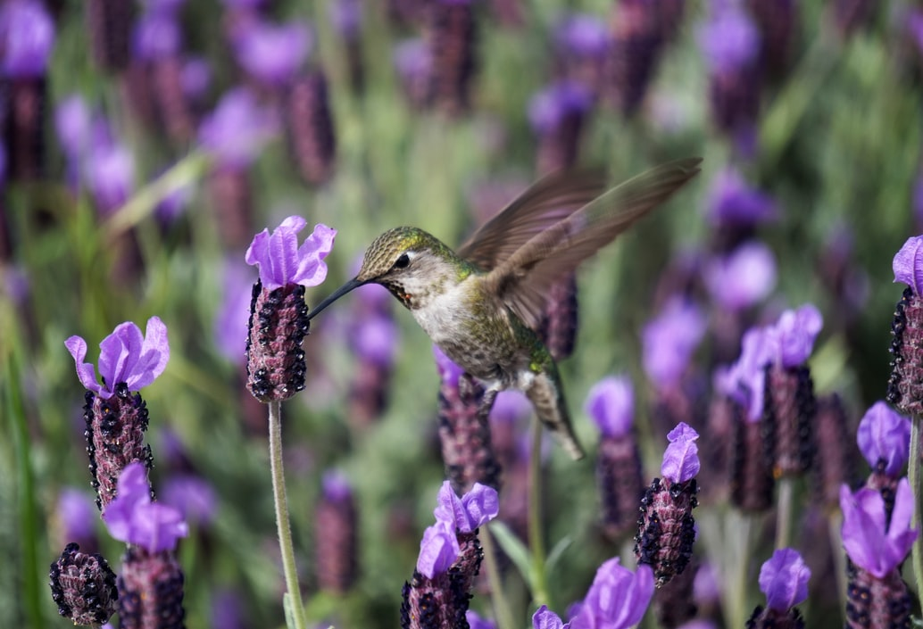 French style lavender with hummingbird