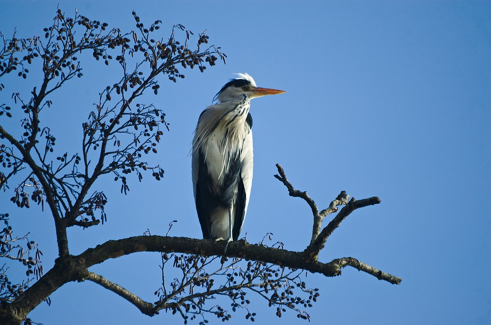 Grey heron on an alder tree