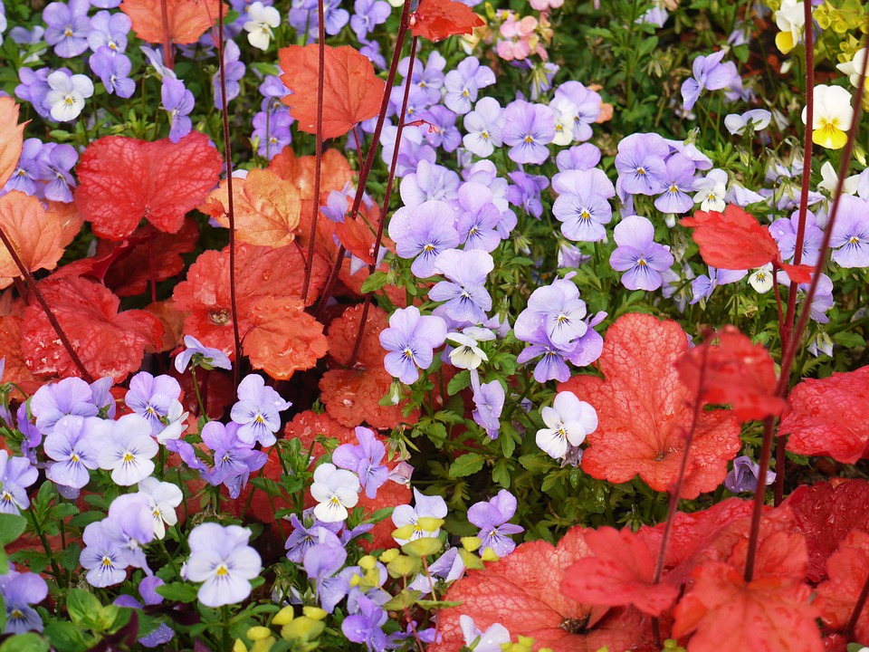 Heuchera and Violas