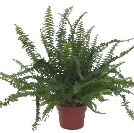 Indoor ferns are great plants for bathrooms