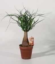 Nolina maya is the ponytail palm