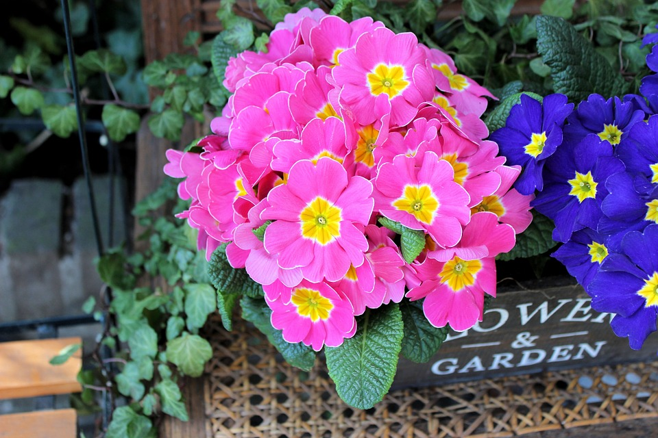 Primulas come in many types of colours
