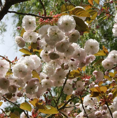 Flowers blossom of Prunus Fugenzo