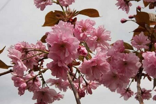 Ornamental cherry flowers Prunus Hokusai