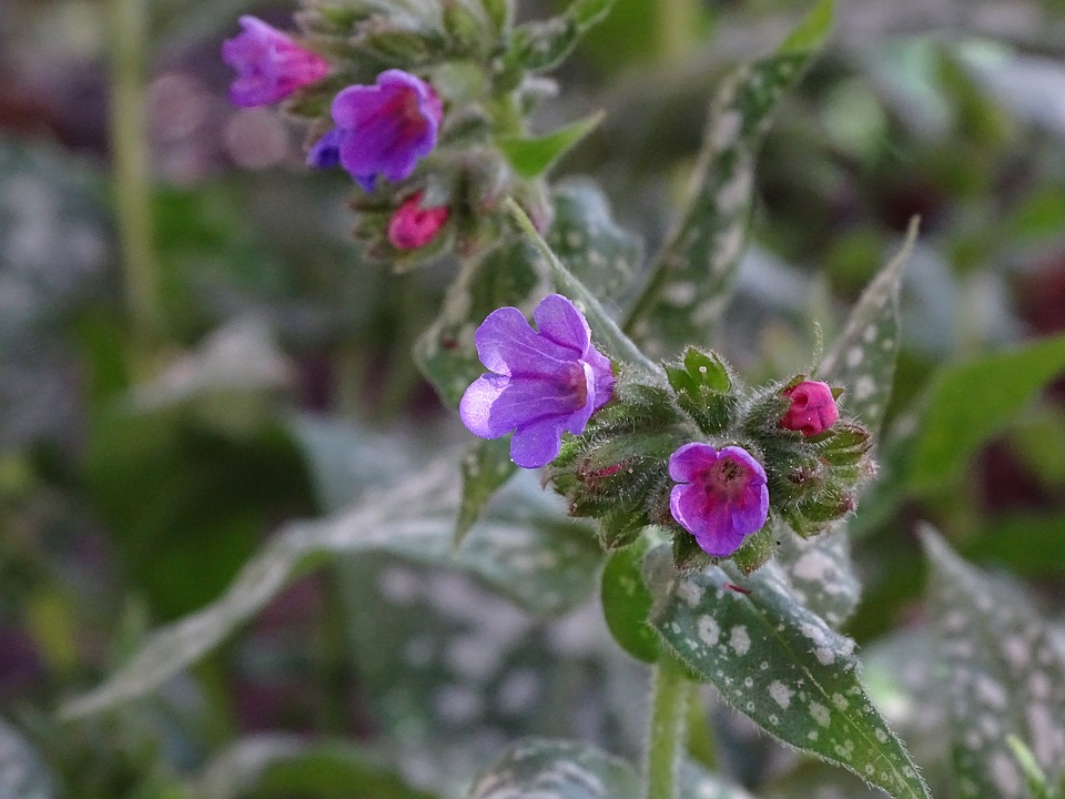 The blue or lilac flowers of Pulmonaria