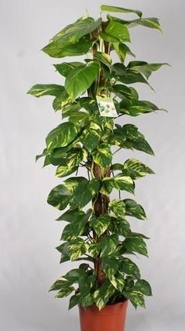 Scindapsus and Philodendron are climbing vines