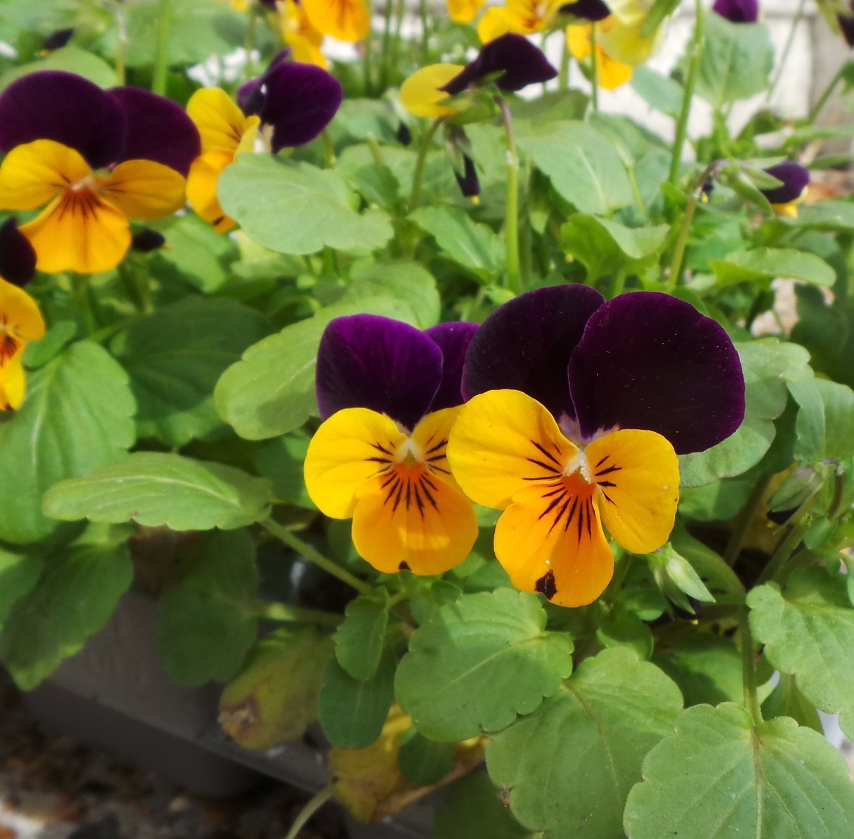 These Viola 'Orange Purple Wing' are some of the most popular