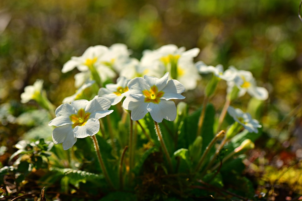 Wild primroses are exceptionally hardy