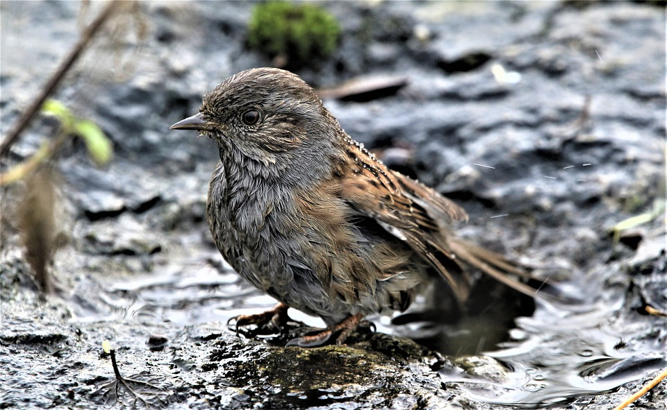 Dunnock on winter soil
