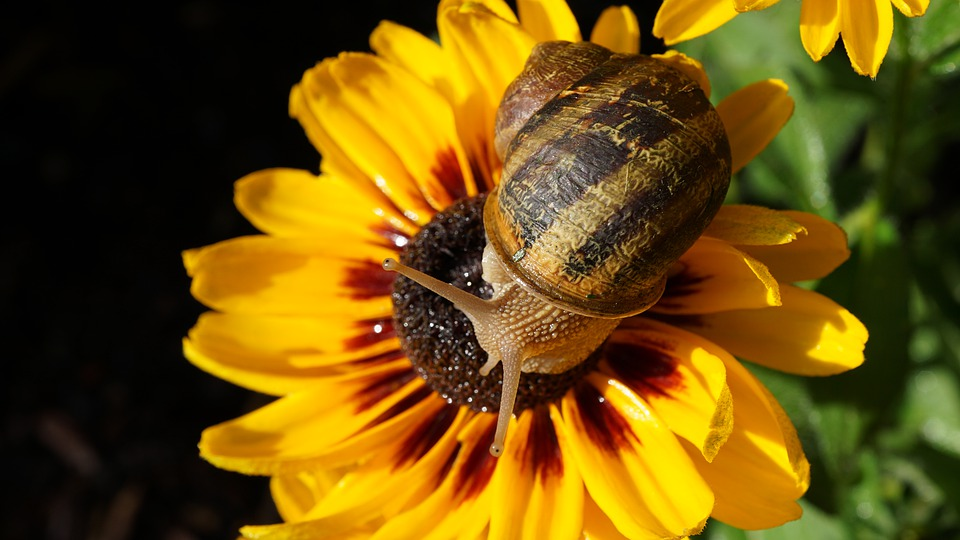 Snail on sunflower