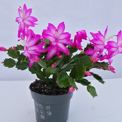 Flowering & Fruiting House Plants