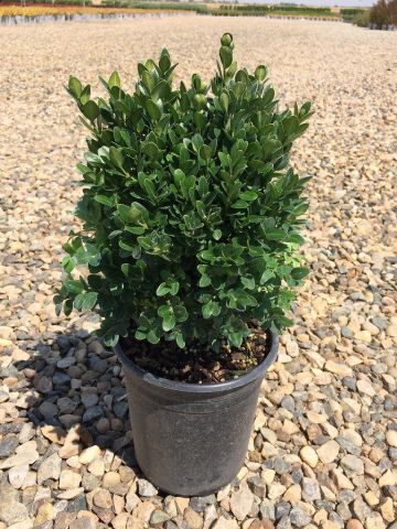 Box Plant Buxus semperivirens Plant in 17cm pot.