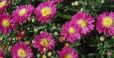 Aster Autumn Jewels Purple Diamonds plant in a 13cm pot. Michaelmas daisy