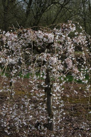 Prunus Snow Showers flowering cherry tree in a 12 Litre Pot