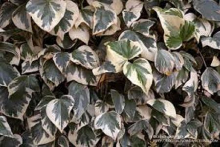 Fancy IVY Hedera canariensis Gloire De Marengo in a 19cm Pot. RHS AGM