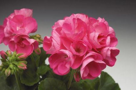 Geranium CANDY ROSE Plant in 13cm pot Drought resistant Zonal Pelargonium