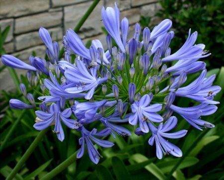 Agapanthus Blue  x 3 roots. Value pack.  Bee Friendly