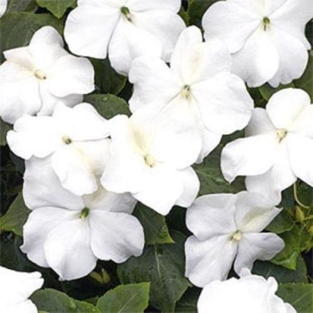 Bizzy Lizzy WHITE bedding plant VALUE 6 Pack Impatiens