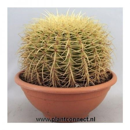 Echinocactus Grusonii Large Cactus House Plant in a 24cm Pot Golden Barrel Mother in Laws Cushion