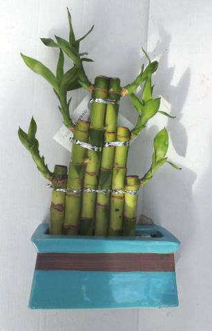 Lucky Bamboo Steps in a blue ceramic pot. Indoor House plant, bonsai for Feng Shui