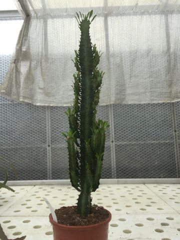 Euphorbia acruensis Cactus house plant in a 17cm pot.  Approx 70cm tall. Branched