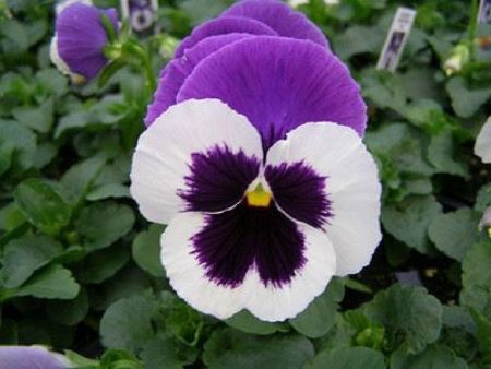Pansy white purple bedding plant 6 Pack Garden Ready Plants.