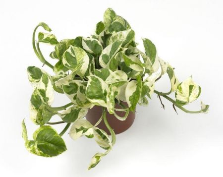 Scindapsus Njoy House Plant in a 12cm Pot. Devils Ivy. Epipremnum can trail or climb