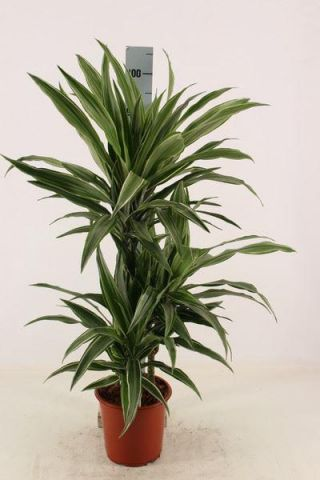 Dracaena warneckeii house plant with 2 stems in a 17cm pot . Dragon Plant. 65cm tall inc. pot