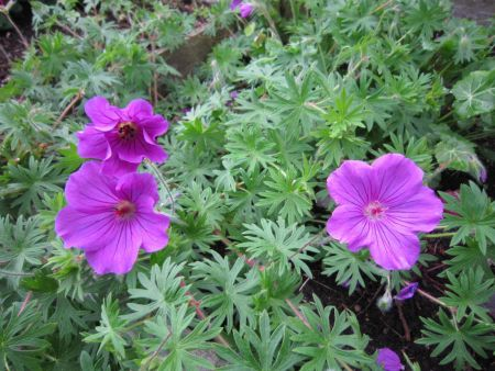 Hardy Geranium Tiny Monster Plant in a 17cm Pot Cranesbill