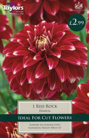 Dahlia Red Rock Tuber x 1 New Variety