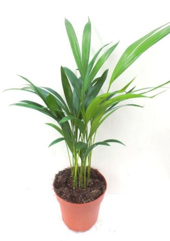 Areca Palm.  Butterfly palm house plant.  Dypsis lutescens 35-45cm tall in 12cm pot.