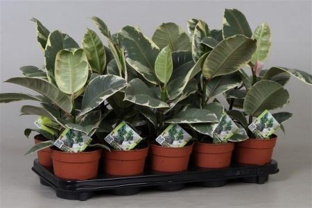 Ficus elastica Tineke rubber plant in a 12cm pot. 50-60cm tall. Unusual house plant