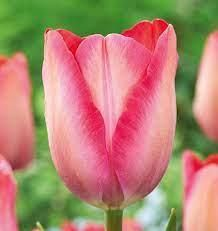 Tulip Pink SOunds x 9 enormous pink blooms