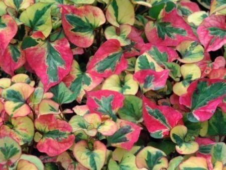 Houttuynia cordata Flame plant in a 13cm pot.  Ground cover plant