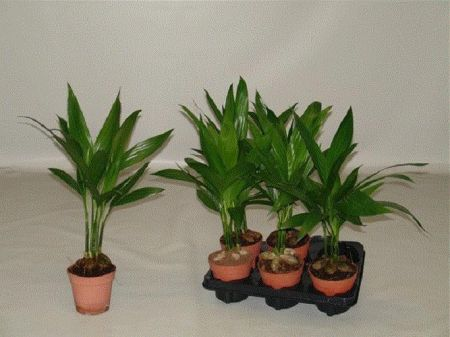 Betel Nut Palm house plant in 12cm pot. Areca catechu. Unusual indoor palm