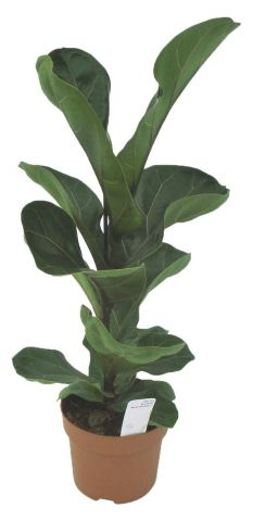 Ficus lyrata 'Bambino' house plant in 12cm pot, around 35cm tall.  Highly unusual form of fiddle leaf fig
