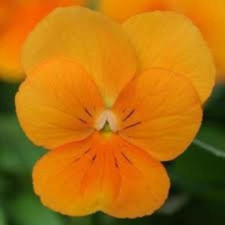 Viola Orange bedding plantS 6 pack of garden ready plants