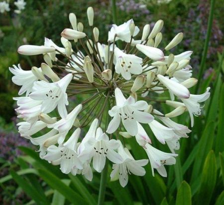Agapanthus White  x 3 roots. Value pack.  Bee Friendly