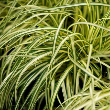 Carex oshimensis Evergold ornamental grass in 17cm pot