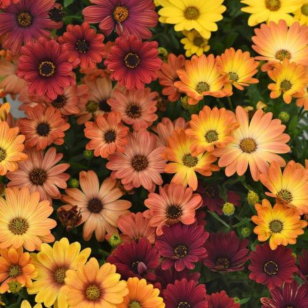 Osteospermum Sunset Shades Colours Bedding plants 6 Garden Ready Plants.
