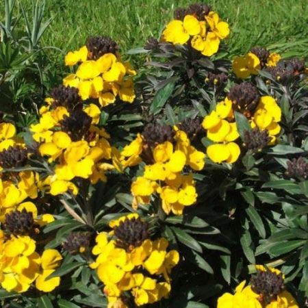 Erysimum Fragrant Sunshine Perennial plant in a 13cm pot.  Perennial wallflower