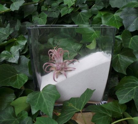 Air plant in MEDIUM glass rectangular cube with 400g WHITE sand.