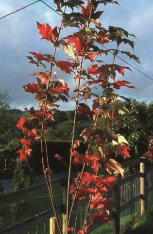 Acer rubrum Sun Valley maple tree in a 12 litre container